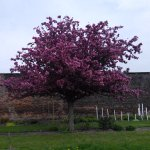 Blossom in the garden, April 2014