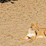 Madame la lionne prend son bain de soleil