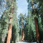 General Sherman - largest tree on the planet by volume (center)