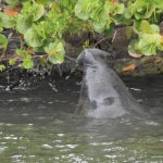 Mother Manatee reaching out of the Water for Sea Grapes