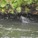 Baby Manatee following mothers instructions on eating Sea Grapes