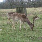 Dunham Massey Deer 2