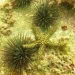 Sea Urchin, Star Fish, Arrowline Crab