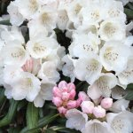 Rhododendrons (taken on my iPhone),Windsor Great Park.