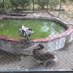 Pelicans (with broken wings) at Monkey Park