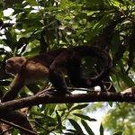 Capuchin at CURU