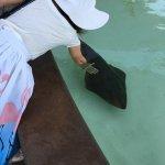 Shovel nose guitarafish inside the bat ray exhibit