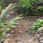 The koi fish pond