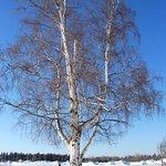 The Big Birch Tree: Meeting Place for Creamer's Field Walks