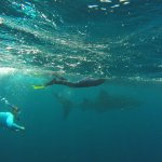 Swimming with the Whale Sharks