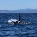 Killer Orca heading toward Santa Cruz Whale Watching Boat 01