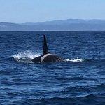 Killer Orca heading toward Santa Cruz Whale Watching Boat 02