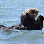 Kayaking with sea otters