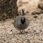 Gambel's Quail seen from the Catalina patio