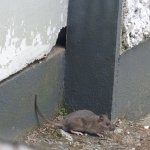 rat coming from kitchen annex at Limetree restaurant in Kenmare
