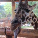 Feed the giraffes.