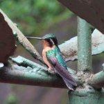 Humming bird posing