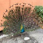 "Peacock ""displaying""."