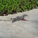 Lots of iguanas around!