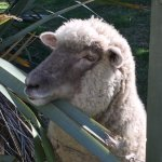 Jerry the pet Sheep