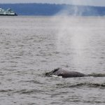 A gray whale breaching with a ferry in the background.