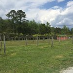 Rows of muscadine grapevines at Silver Coast.