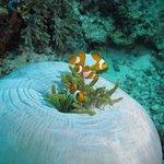 """""""Nemo"""" at Raja Ampat"""