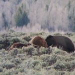 Grizzly bear 610 and cubs