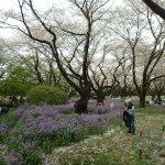 Showa Park cherry blossoms