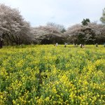 Showa Park cherry blossoms and wildflowers