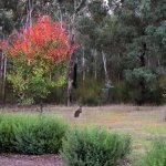 Wallaby outside the cottage