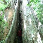 Strangler tree or Ficus Tree