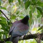 Large Pigeon