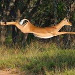 Flying impala!