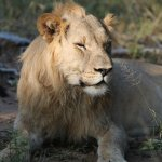 A very full lion (and not much left of the kudu!)