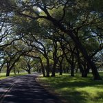 The oak lined lane leading to the private residence