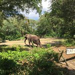 One of the magnificent elephants you will see on Kilimajaro Safari.