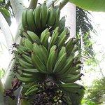 Bunch of bananas -Eden Project