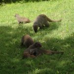 Mongooses on the hotel grounds.