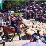 Sheep Performance in Cingjing Farm