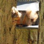 Rare red squirrel population