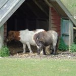 Shetland ponies are rescued too.