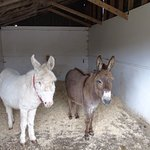 Recovering donkeys well cared for.