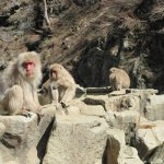 Snow monkeys at the hot spring pool