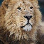 Asian lion Kumar at Dublin Zoo.