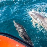 Dolphins bow riding