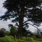 300 year old cedar tree in the hotel grounds