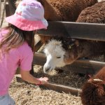 Photo of The Alpaca Farm