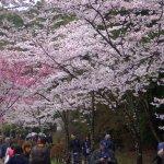 more cherry blossoom