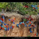 macaws leaving the wall of clay